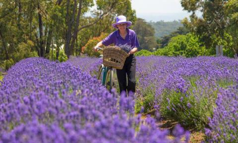 nhung-canh-dong-lavender-noi-tieng-the-gioi4.jpg